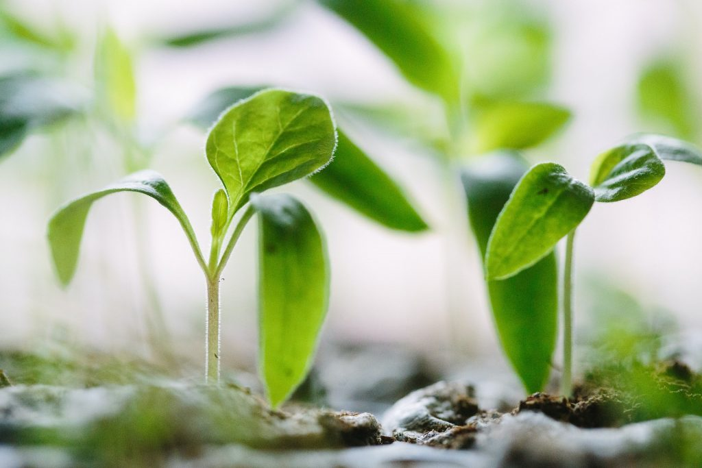 Green plant sprouts